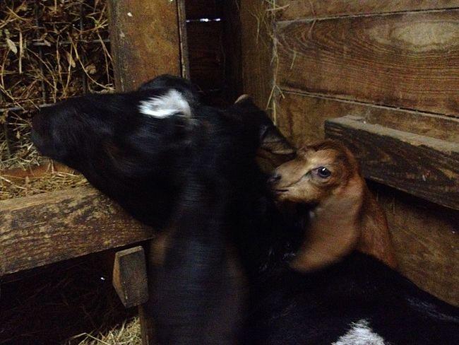 Newborn Babygoat Hello World Cute Pets Animal_collection Animal Photography Goat Goatfarm Goat Life Serenitygoats Serenityacres Lovable