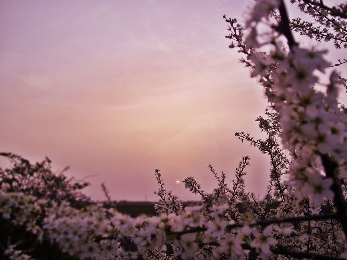 Cherry Tree Against Sky During Sunset