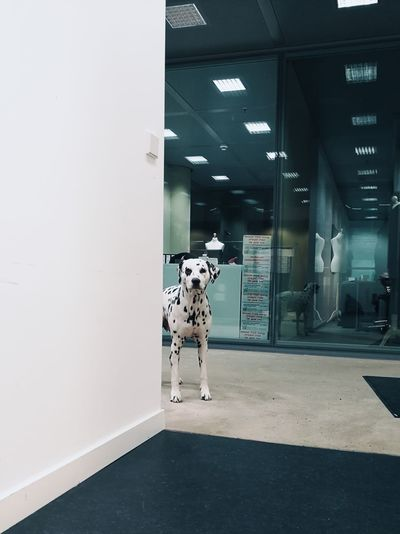No People Dog Office Building Office Office Dog Dalmatian Dog❤ Dog Photography Doglovers