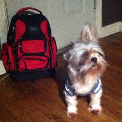 My Dogs Are Cooler Than Your Kids My Shih Tzu Rolo Ready For School First Eyeem Photo