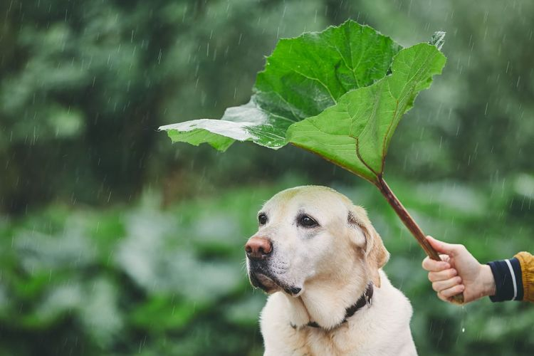 Rainy day with dog in nature. Man holding leaf of burdock above his sad labrador retriever. Care Funny Man Nature Rain Raindrops Rainy Days Weather Animal Animal Themes Burdock Canine Covering Dog Domestic Animals Drop Hand Hiding Holding Human Hand Leaf One Animal Pet Owner Pets Plant