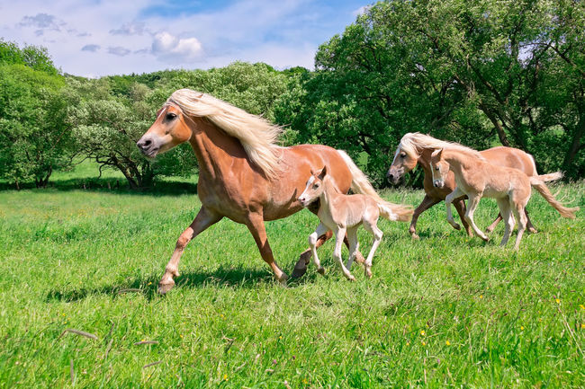 Haflinger mare with frisky foals running together across a pasture, Germany. Funny Haflinger Ponies Pony Running Action Avelignese Colt Countryside Equine Field Foal Foal And Mare Foals Frisky Grass Haflinger Horse Horse Landscape Motion Nature Outdoors Together Togetherness Trot