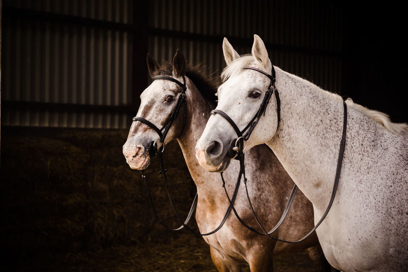 Animal Themes Bridle Close-up Day Domestic Animals Horse Livestock Mammal No People One Animal Outdoors