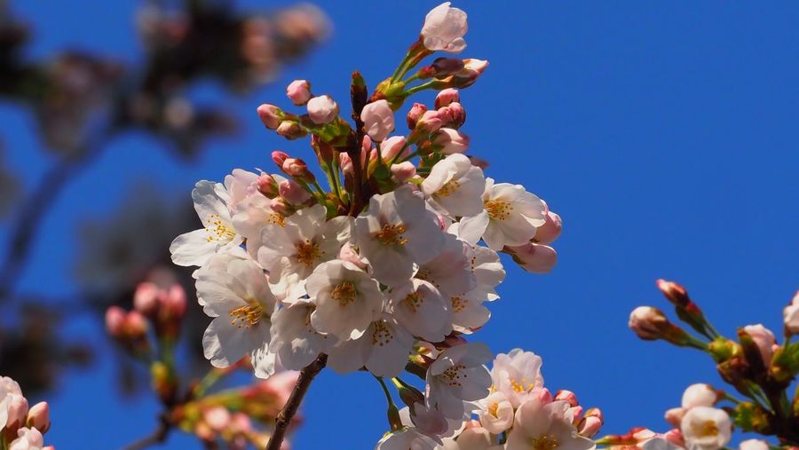 Sakura EyeEm Selects Flower Fragility Beauty In Nature Growth Nature Blue Day Blossom Clear Sky Springtime Flower Head Blooming Close-up