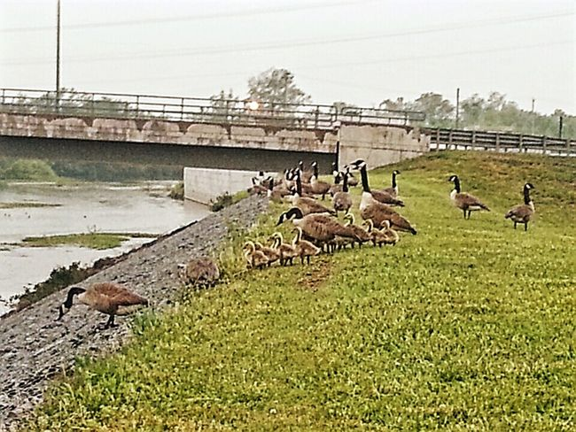 My feathery friends on the dike Sunday Morning Walk Rainy Day Geese Goslings