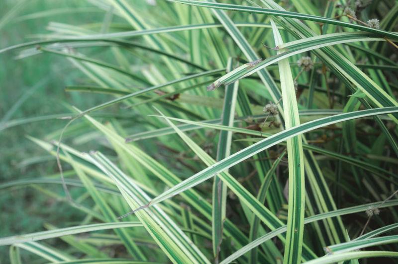 Full frame shot of bamboo plants on field