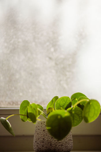 Green Color Pilea Peperomioides Plant Succulents Chinese Money Plant Close-up Evergreen Focus On Foreground Fragility Indoors  Leaf Leaf Vein Leaves Lefse Plant Missionary Plant Pancake Plant Perennial Succulent Plant Window Sill