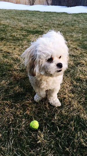Let's play BALL! 👍😃 Taking Photos Cute Cute Pets Puppy Dog Fluffy Outdoors Love Bichonfrise