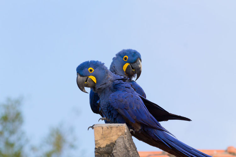 Hyacinth macaw bird, Pantanal, Brazil Animal Themes Bird Animal Animal Wildlife Animals In The Wild Parrot Perching No People Day Blue Macaw Macaw Parrot Macaw Bird Hyacinth Macaw Brazil Brazilian Pantanal Wildlife Wild Wildlife & Nature Wildlife Photography