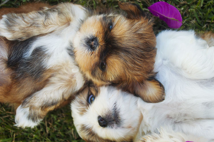 High Angle View Of Shih Tzu Relaxing On Field