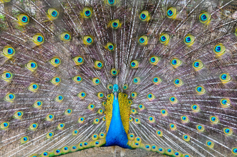 Close-up of dancing peacock with fanned out feathers