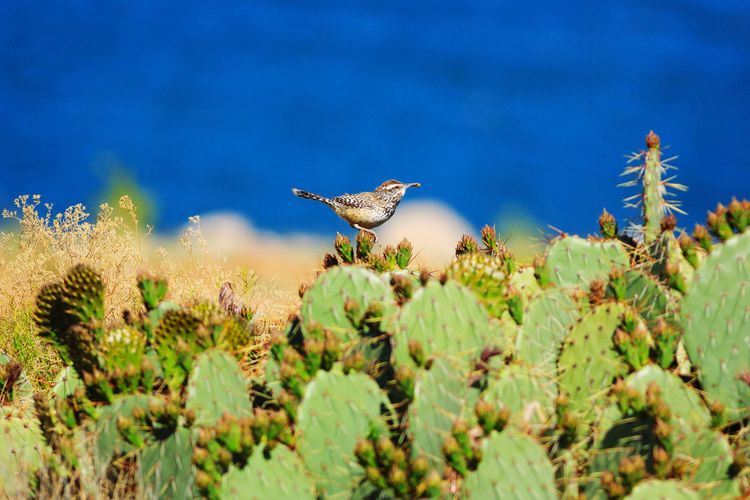Cactus wren Bird Animal Themes Utah Animal No People Outdoors Cactus Cactus Wren Prickly Gunlock State Park Gunlock Reservoir