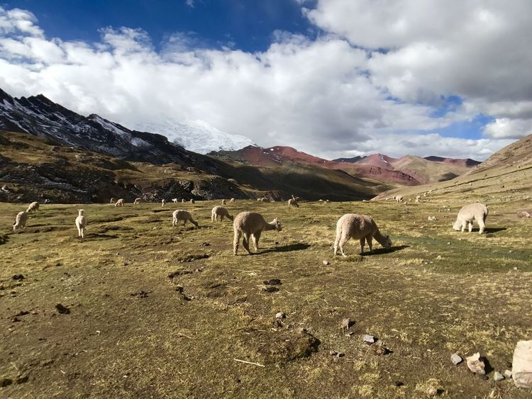 Ausangate Rainbow Mountain Hike Peru Lost In The Landscape Peru Travel Photography Beauty In Nature Grazing Hiking Photography Llama Mountain Nature Travel Destinations Travel Peru