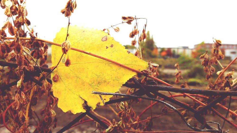 Leaf Autumn Nature Close-up Get Closer Outdoors Season  Autumn Autumn Colors Autumn Is Here 🍂🍁 Autumn Is The Spring Of Winter 🍂🍁 Autumn Leaves Autumn🍁🍁🍁 How Is The Weather Today? Autumn 2016 The Places I've Been Today October 2016 No People Bokeh Fragility Magdeburg