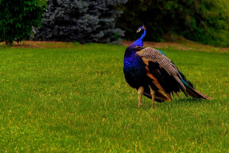Peacock roaming around Bird Peacock Grass One Animal Animal Themes Feather  Field Peacock Feather Nature Animals In The Wild Animal Wildlife Green Color Beauty In Nature Outdoors Full Length Animal Crest Growth Fanned Out Day No People EyeEmNewHere The Still Life Photographer - 2018 EyeEm Awards The Great Outdoors - 2018 EyeEm Awards