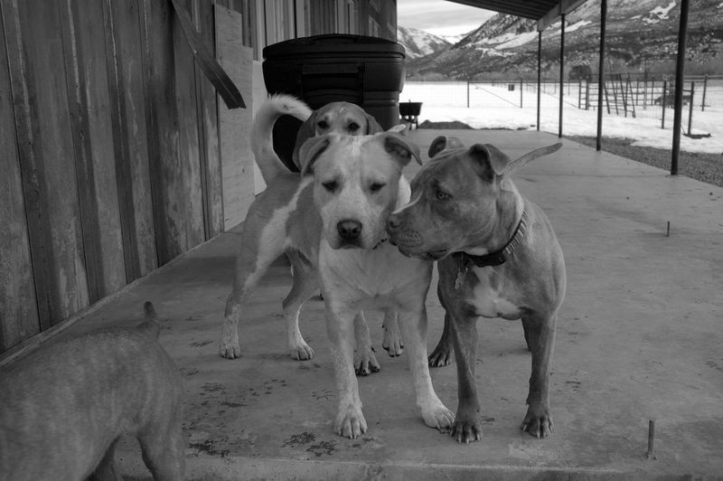 Pit Bull dogs playing Pit Bull Lover & Supporter Pit Bull Love Canine Dog Domestic Domestic Animals Mammal Outdoors Pets Pit Bull Terrier Playing Standing
