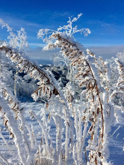 Plant Nature No People Winter Sky Cold Temperature Day Outdoors Beauty In Nature Snow Sunlight Close-up