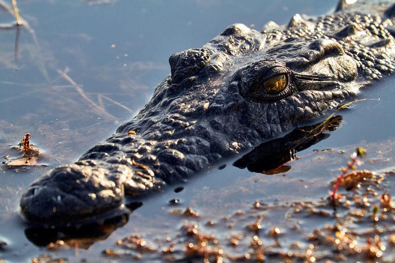 Crocodile in the okavango delta