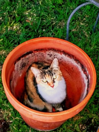 Domestic Cat Pets Domestic Animals Animal Themes Feline One Animal No People Cat Grass High Angle View Mammal Outdoors Day Plant Sitting Nature Portrait Cats Of EyeEm Cat Love In Garden Cat Lovers Cat Lover Cat Life Planter Pot Ceramic Planter Calico Cat