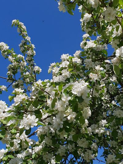 Tree Flower Branch Flower Head Clear Sky Blue Springtime Blossom Fruit Full Frame Apple Blossom Apple Tree Flowering Plant