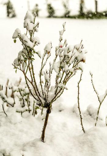 Erster Schnee First Snowfall Natur Pflanzen Plant Schnee Snow Winter