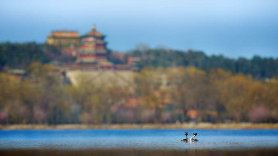Great Crested Grebe On Lake Against Summer Palace
