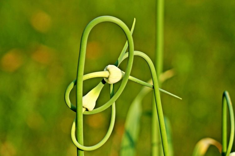 Plant Growth Focus On Foreground Close-up Green Color No People Nature Freshness Flowering Plant Fragility Outdoors Vulnerability  Curly Twisted Garlic Garlic Plants