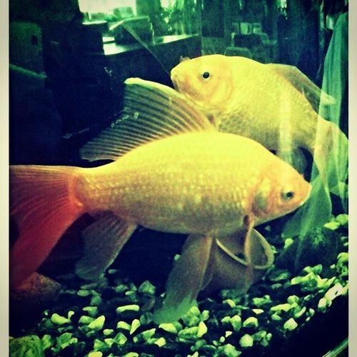 аквариум рыбки золотые красивые науроке биологии