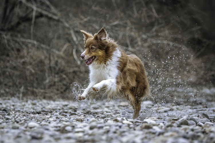 Dog running in river