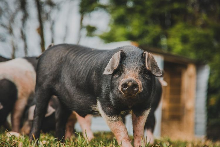 View of pig on grass outdoors