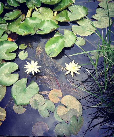 Flower Outdoors Plant Water Lily No People Beauty In Nature Fragility Water Leaf