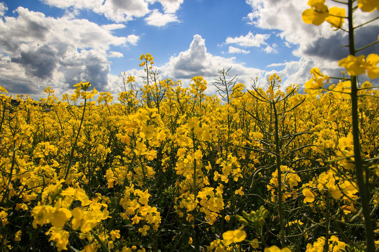 EyeEm Selects Flower Yellow Nature Plant Cloud - Sky Blossom Sky Growth Field Beauty In Nature Agriculture Landscape
