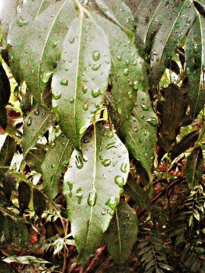 Monsoonmagic Taking Photos Waterdrops Nature Monochrome Beautiful Leaves Check This Out Photo Of The Day Nature Collections Waterdropsphotography Waterdrops On Leafs Waterdropsmacro Picart Editing HDR Effect