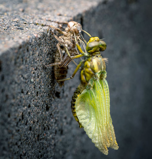 freshly hatched dragonfly Animals In The Wild Animal Wildlife Animal Animal Themes Invertebrate Insect Close-up One Animal No People Nature Beauty In Nature Focus On Foreground Macro Macro Photography Metamorphosis Dragonfly Newborn Outdoors Green Color Selective Focus
