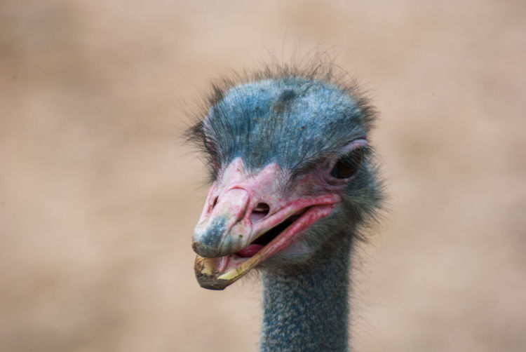 Close-up of ostrich with beak open