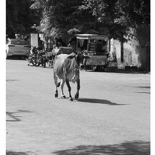 Streets of India...Streetphotography Streetlife Indianstreet Animal Cow Morningphotowalk Canon Canon60dshots Canon60d Photography Photographyislifee Picoftheday Canonphotography MyPhotography Myclicks Picoftheweek