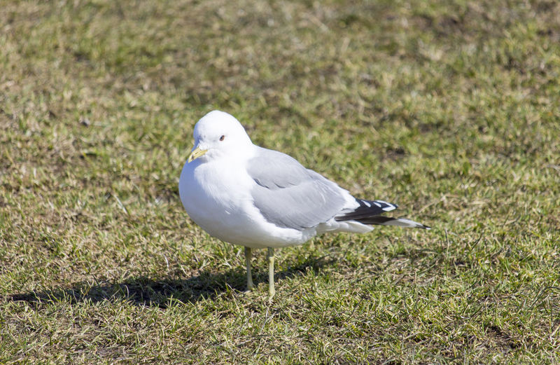 White-headed seagull Animal Animal Wildlife Animals In The Wild Bird Gull One Animal Seagull White-headed Seagull