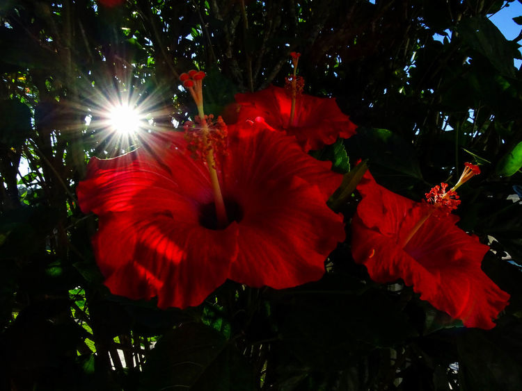 ezefer Beauty In Nature Blooming Blossom Close-up Day Flower Flower Head Fragility Freshness Growth Hibiscus Ibisco Ibiscus Nature No People Outdoors Petal Plant Poppy Red