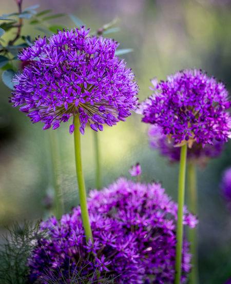 Three purple