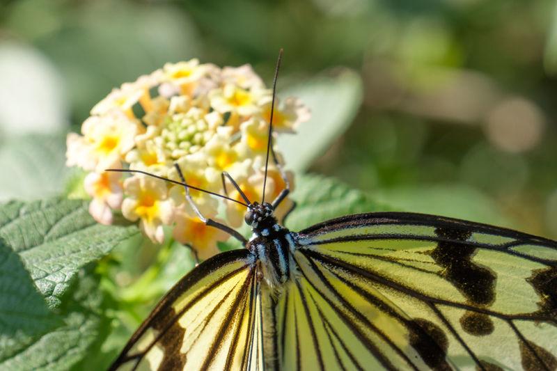 Close-up of butterfly on lantana camara flowers