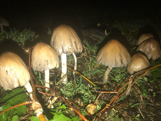 Mushrooms in the NightCap Mushroom Fungus Plant Growth Nature No People Food Land Vegetable Toadstool Tree Beauty In Nature Close-up Forest Field Night Outdoors Vulnerability  Tranquility