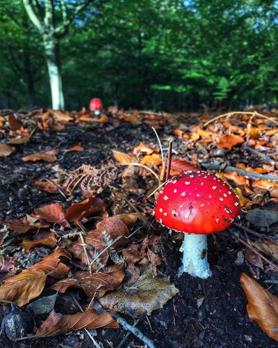 Autumn in the forest Eye4photography  EyeEm Gallery Forest Food Red Mushroom Fungus Land Plant Food And Drink Close-up Outdoors Tree Plant Part Nature