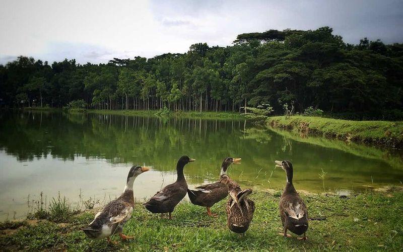 what's up ducks? 😂 Philippines Negros Island Mabinay AraIsaiahLim Ducks Ducks At The Lake Wonderful Photography Photooftheday ASIA Travel Explore EyeEm Best Shots EyeemPhilippines Itsmorefuninthephilippines Filipinopride