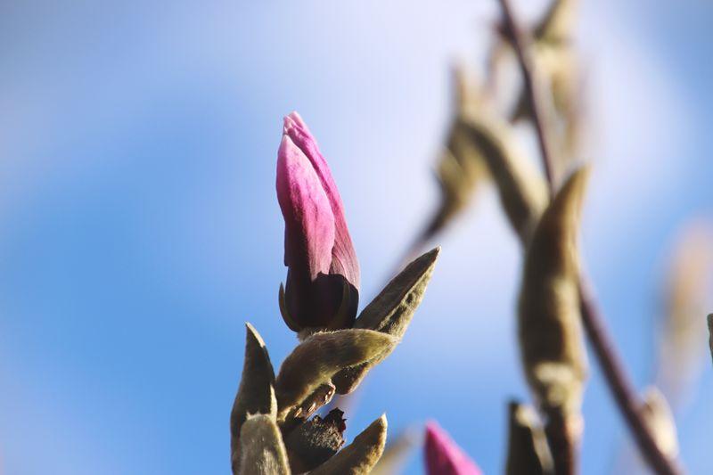 Close-up of pink flower buds against blue sky