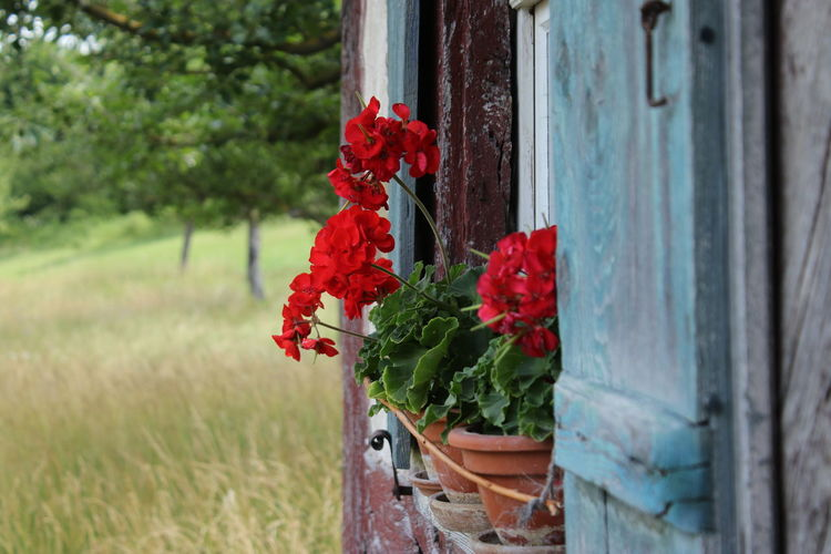 Close-up of red flowering plants by door