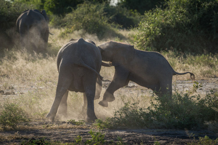African elephants fighting in forest
