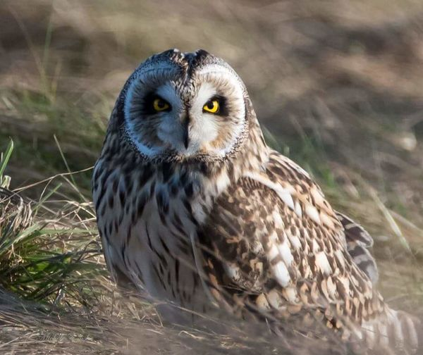 Watching you, watching me.... Short Eared Owl Owl Eyes Owls💕 Birds Of EyeEm  Birdsofinstagram Bird Photography Bird Of Prey Wildlife Wildlife Photography Nikon Aberdeen,Scotland