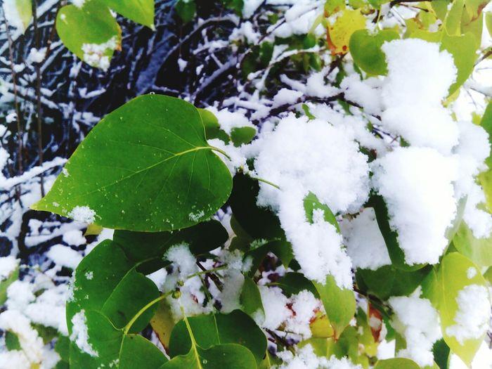 Summer-winter Leaves On Snow