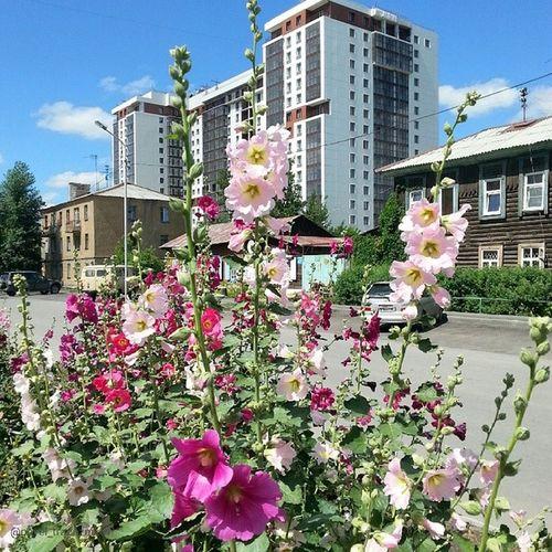 20140714 , Новосибирск , улицаНекрасова . цветы . Мальва в городе/ Novosibirsk. Flowers. Malva in the city.
