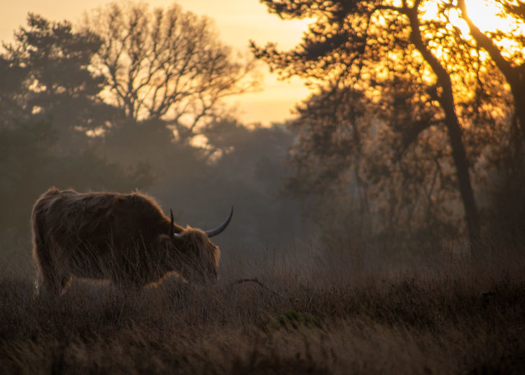 View of a highland cow on field during sunrise on a hazy cold autumn morning